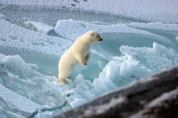 Polar bear on hind legs looking at submarine that has broken through the ice